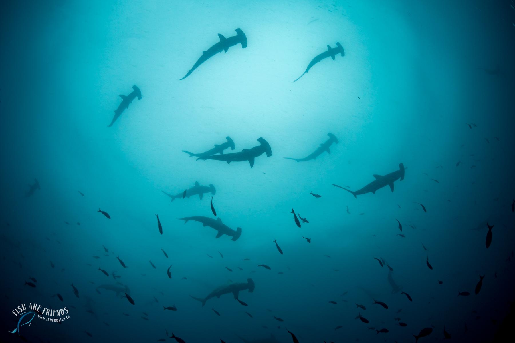 Hammerhaie in Wolf
